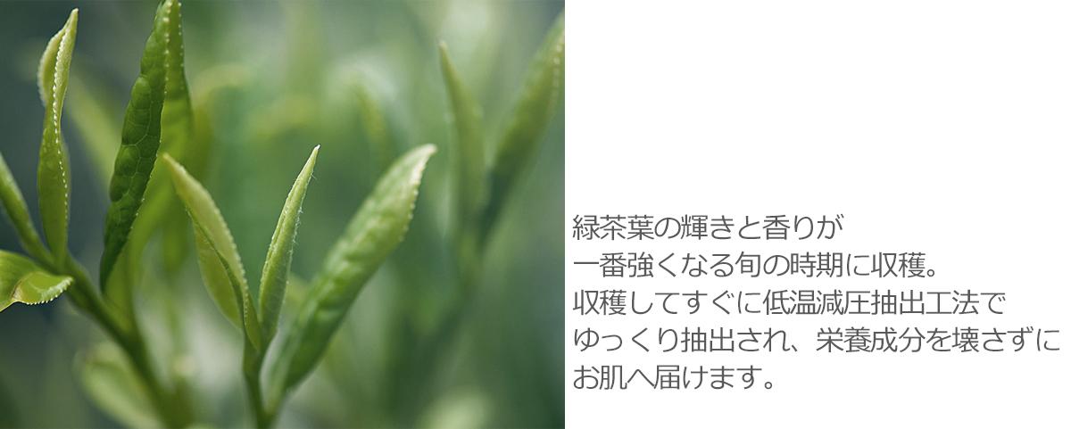 緑茶葉の輝きと香りが一番強くなる旬の時期に収穫。収穫してすぐに低温減圧抽出工法でゆっくり抽出され、栄養成分を壊さずにお肌へ届けます。
